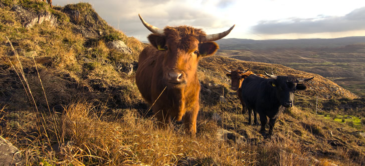 photo of autumnal cattle